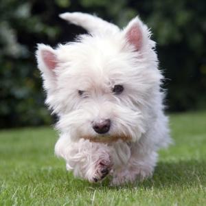 kleiner weißer Hund beim Rennen und Spielen im Garten, Farbe